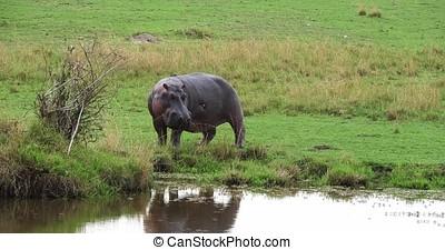 Hippopotamus, hippopotamus amphibius, Adult near Water,...