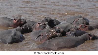 Hippopotamus, hippopotamus amphibius, Group standing in River, Masai Mara park in Kenya, Real Time 4K