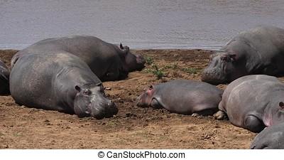 Hippopotamus, hippopotamus amphibius, Group standing near the River, Masai Mara park in Kenya, Real Time 4K