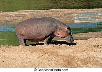 Hippopotamus (Hippopotamus amphibius), Kruger National Park,...