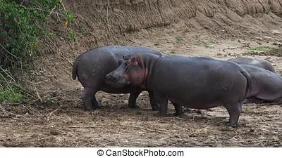 Hippopotamus, hippopotamus amphibius, Masai Mara park in...