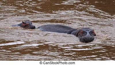 Hippopotamus, hippopotamus amphibius, Mother and Calf in...