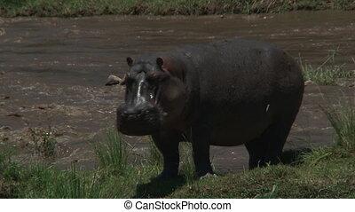 Hippopotamus (Hippopotamus amphibius) standing on Mara river bank