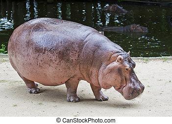 Hippopotamus.  - Hippopotamus at the zoo in thailand.