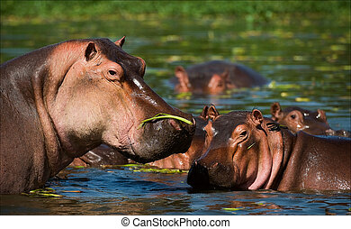 Hippopotamus in a bog. On the bright and hot sun the ...