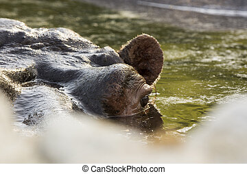 hippopotamus in a zoo