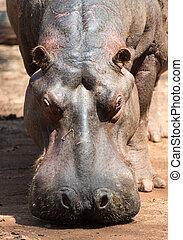 Hippopotamus in Mlilwane Wildlife Sanctuary. - Mlilwane...