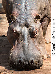 Hippopotamus in Mlilwane Wildlife Sanctuary. - Mlilwane...