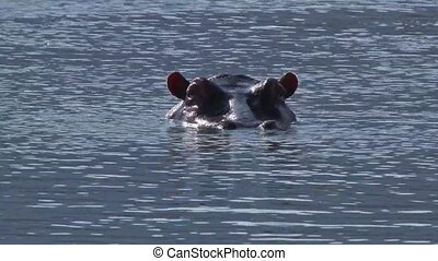 Hippo with head just above water looking at camera, and blowing nose,