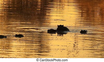Hippos (Hippopotamus amphibius) in water at sunrise with golden reflections, Sabie-Sand nature reserve, South Africa