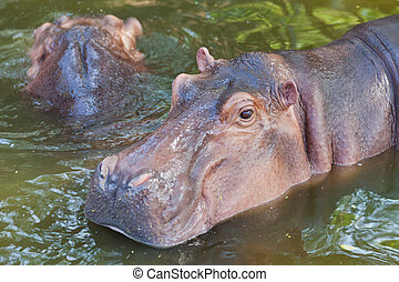 Hippopotamus in water