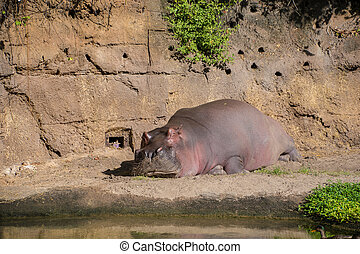Hippopotamus laying on the ground