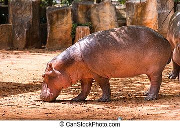 Hippopotamus mammals and herbivorou