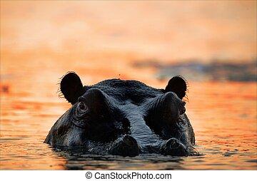 Hippopotamus on a decline. - The hippopotamus in the light...