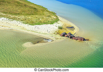 Hippopotamus on a river - Aerial view of South African...