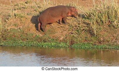 Hippopotamus on land