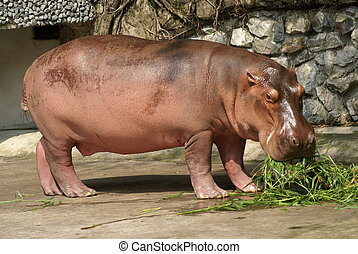 hippopotamus - The hippopotamus, or hippo, is a large,...