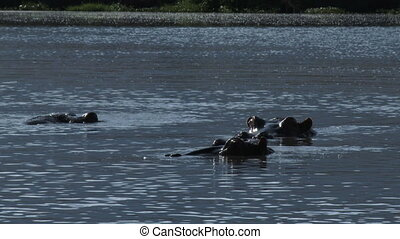 Hippopotamus relaxing in water with eyes just above waterlevel