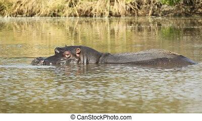 Hippopotamus splashing