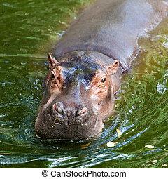 Hippopotamus.  - Hippopotamus.