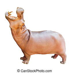 Hippopotamus, Latin name - Hippopotamus amphibius isolated...