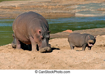 Hippopotamus - Female hippopotamus with young calf, Kruger...