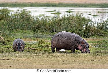 hippopotamuses grazing on the edge of swamp