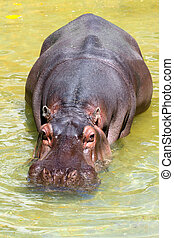 Hippopotomus Amphibius. Adelaide Zoo, Adelaide, Australia