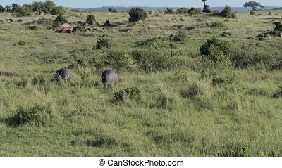 Hippos are grazing in the savannah in Kenya