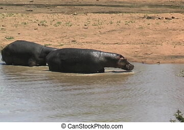 Hippos walk out of the water in front of the boat on the Rufiji River