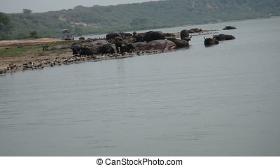 Hippos, cape buffalo and birds in Kazinga Channel, Queen...