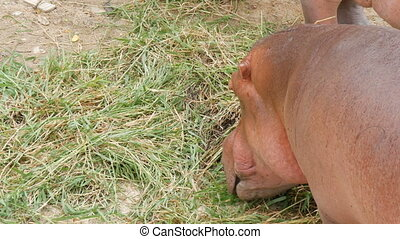 Hippos eat grass in zoo - Hippos eat grass in the zoo