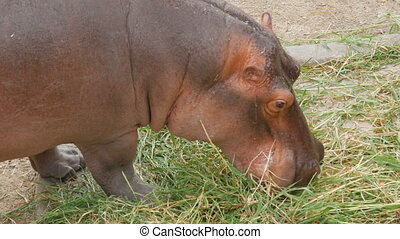 Hippos eat grass