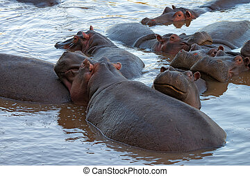 Hippos - Family of hippos is having rest in river Mara,...