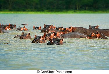 Hippos - Family of hippos on lake Naivasha. Africa. Kenya