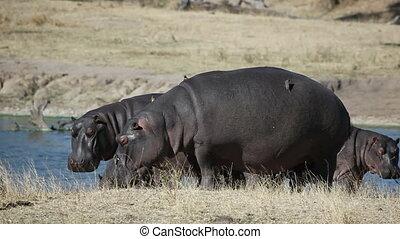 Hippos (Hippopotamus amphibius) with oxpecker birds, Sabie-Sand nature reserve, South Africa