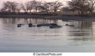 Group of Hippos in the Water in a Pond, Makgadikgadi National Park, Botswana, Africa