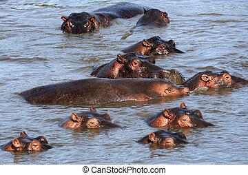 Hippos in Africa - Hippos - Serengeti Wildlife Conservation...