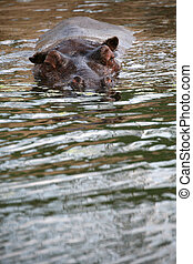 Hippos in water in a German zoo