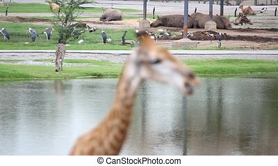 hippos, pelicans, zebras safari park with a change of focus in the giraffe
