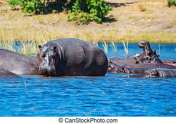 Hippos resting in the river - Huge herd of hippos resting in...