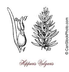 hippuris vulgaris aquatic plant , vintage print