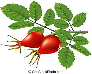 hips., rose, vecteur, branche, sauvage, illustration.