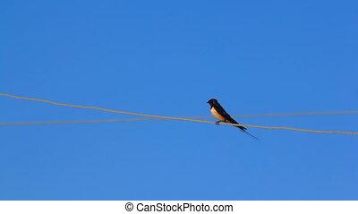 hirondelle, oiseau