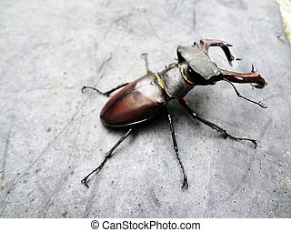hirsch, käfer