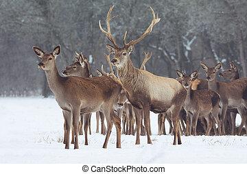 Hirsch,  Winter, rotes