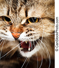 Portrait of angry hissing Siberian cat showing teeth
