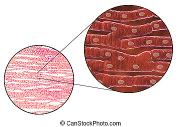 Histological structure of heart muscle, 3D illustration and...