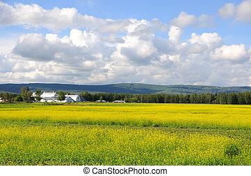 Historic Alaska Farm in Summer with bloom canola flowers