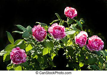 Historic scented striped roses - Branch with very scented...
